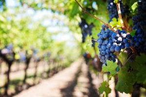 Photo d'une vigne de la BREDE en gironde 33650 - Par l'agence immobilière la Brède Immo-Pop